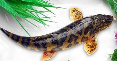 清波鲜鱼多少钱-长江岩团哪里买-双流县应敏水产批发部