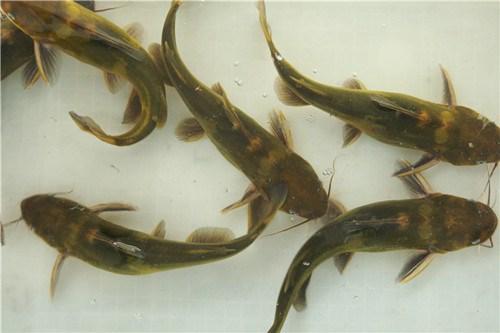 清波鲜鱼-成都水产哪里好-双流县应敏水产批发部