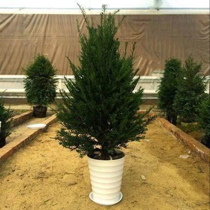 室內快樂樹苗 紅豆杉盆景如何栽培 云南宏杉林業有限公司