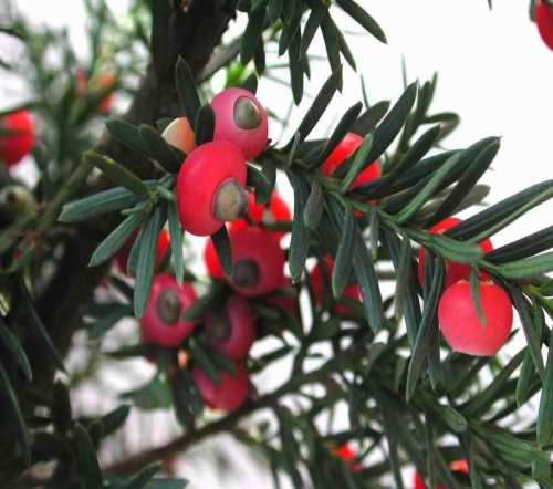 昆明健康树批发-批发红豆杉种苗-云南宏杉林业有限公司
