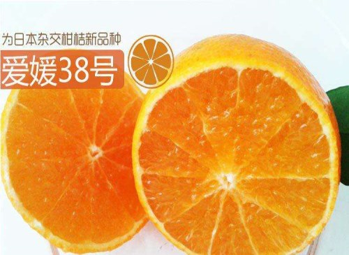 爱媛38号柑桔苗/资中沃柑苗/资中县全利生态苗圃场