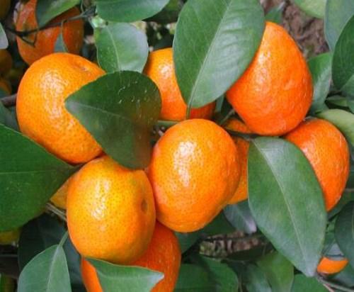 资中沙糖桔苗多少钱一棵-资中塔罗科血橙苗采购-资中县全利生态苗圃场