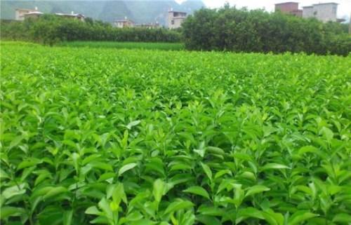 晚熟8号血橙苗价格 新品种沃柑苗 资中县全利生态苗圃场
