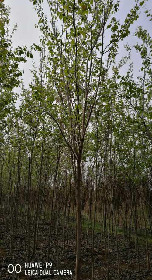直销巨紫荆_直销其他绿化苗木价格-洛阳新四季农业有限公司