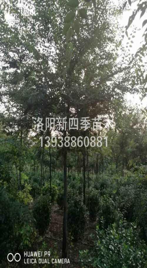 特价榉树经销商_特价其他绿化苗木商家-洛阳新四季农业有限公司