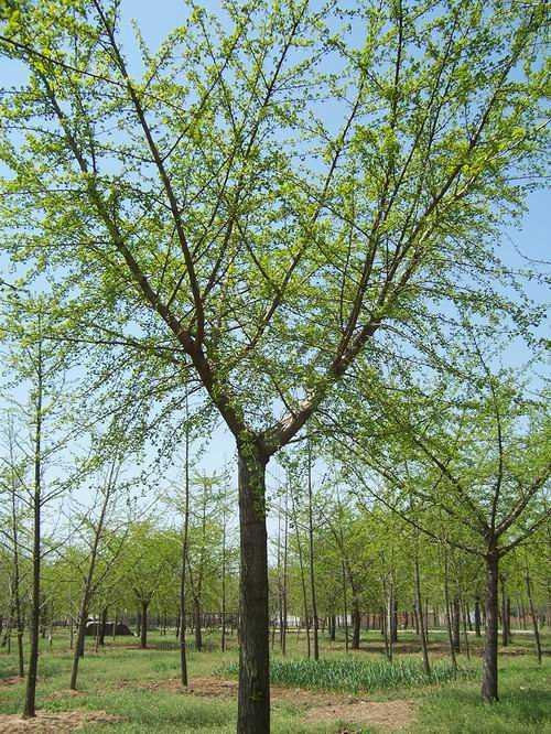 大连银杏树价格 江西银杏树 郯城县润泽苗木培育场