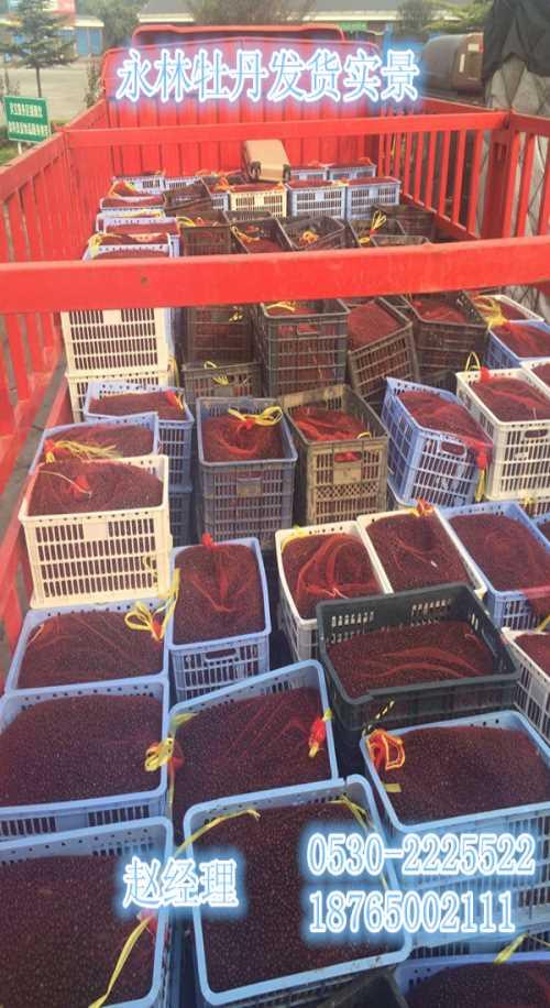 全国紫斑牡丹种子价格-贵州牡丹种子价格-山东永林牡丹种植基地