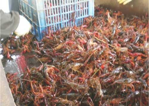 优质小龙虾基地_成品小龙虾养殖_淡水小龙虾基地