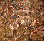 四川小龙虾价格 湖北小龙虾价格 宜城市火红小龙虾养殖基地