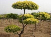新乡植物造型-梨树树苗-新乡市财运园林绿化有限公司