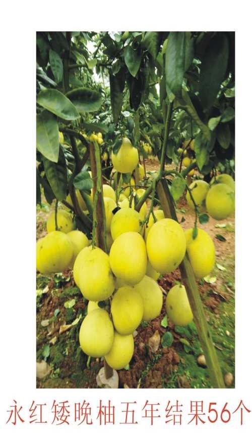 永红矮晚柚种苗 优质矮晚柚价格 矮晚柚栽植