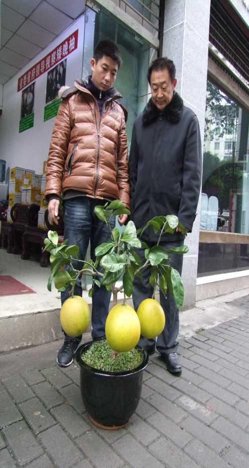 矮晚柚盆景掛果圖/黃心矮晚柚盆景價格/遂寧市永紅矮晚柚有限公司