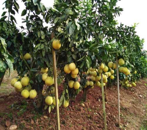 錯季節成熟遂寧矮晚柚-錯季節成熟遂寧矮晚柚銷售-遂寧市永紅矮晚柚有限公司