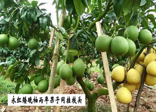 永紅矮晚柚供應/永紅矮晚柚價格/遂寧市永紅矮晚柚有限公司