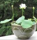 水培碗莲观赏_优质碗莲种子_多品种碗莲批发