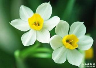盆栽水仙花方法/种植水仙花知识/水仙花知识