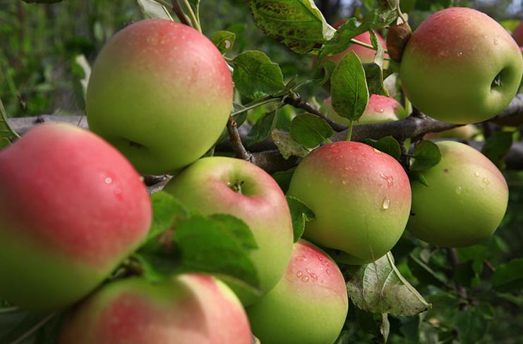 雪域极品高原苹果产地直销 生态天然高原苹果价格多少 哪家高原苹果价格多少