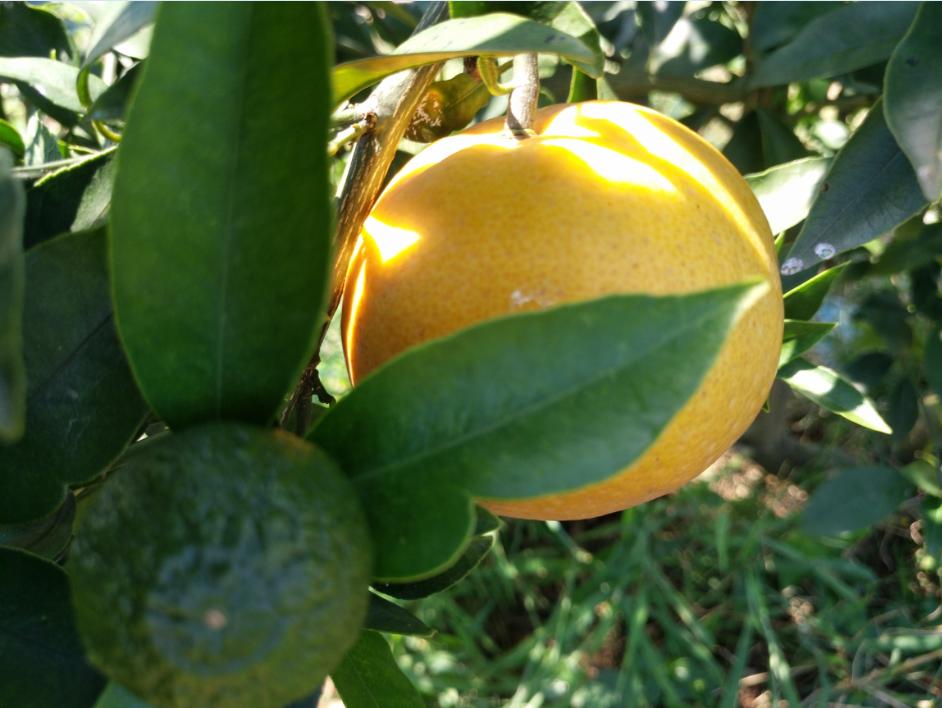 香橙哪里好 8号血橙特点 四川春沃果业有限公司