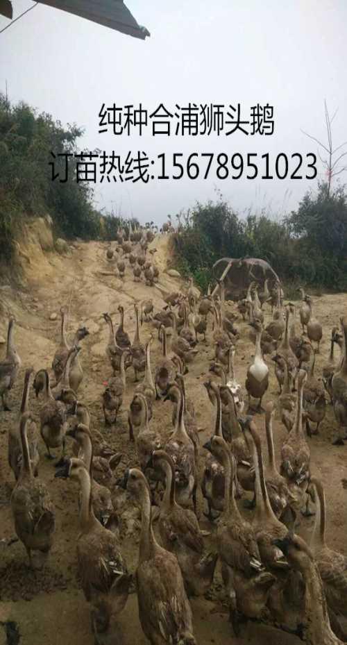 广东狮头鹅苗价格_广西斗鸡苗_广西南宁汇升禽业禽苗孵化有限公司
