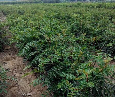 大红袍花椒树/狮子头花椒树基地/优质花椒树