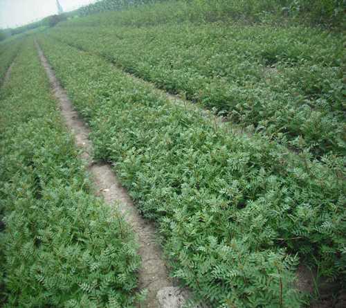陕西狮子头花椒苗新品种 狮子头花椒苗出售