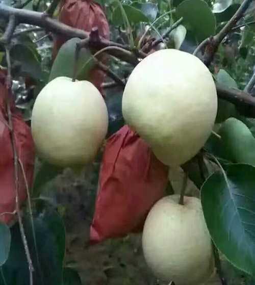 蒲城酥梨多少钱 陕西红富士苹果出售 礼泉县雪梦养殖专业合作社