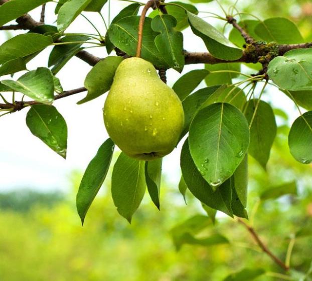 黃金梨子苗種植基地 櫻桃苗供應 青白江區百泉家庭林場