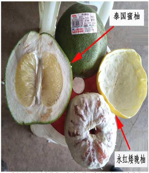 最好吃的柚子是遂寧矮晚柚 遂寧市永紅矮晚柚有限公司