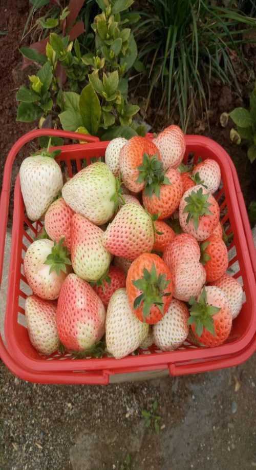 生态草莓采摘一日游_新鲜台湾桑葚多少钱一斤_四川思慕生态农业有限公司