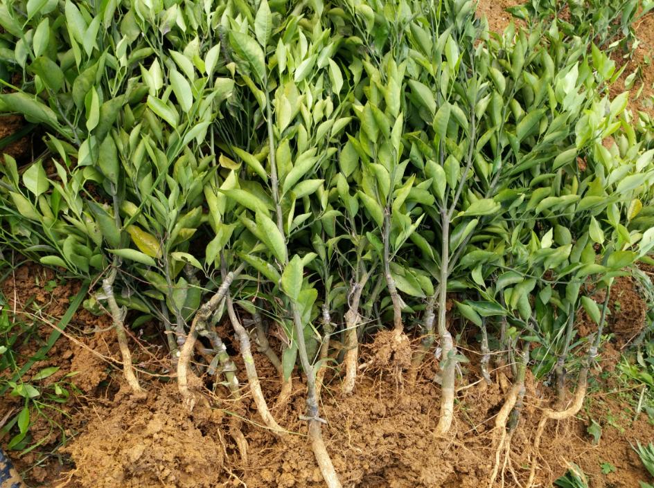 最新春见苗批发 成都沃柑种植技术 四川春沃果业有限公司