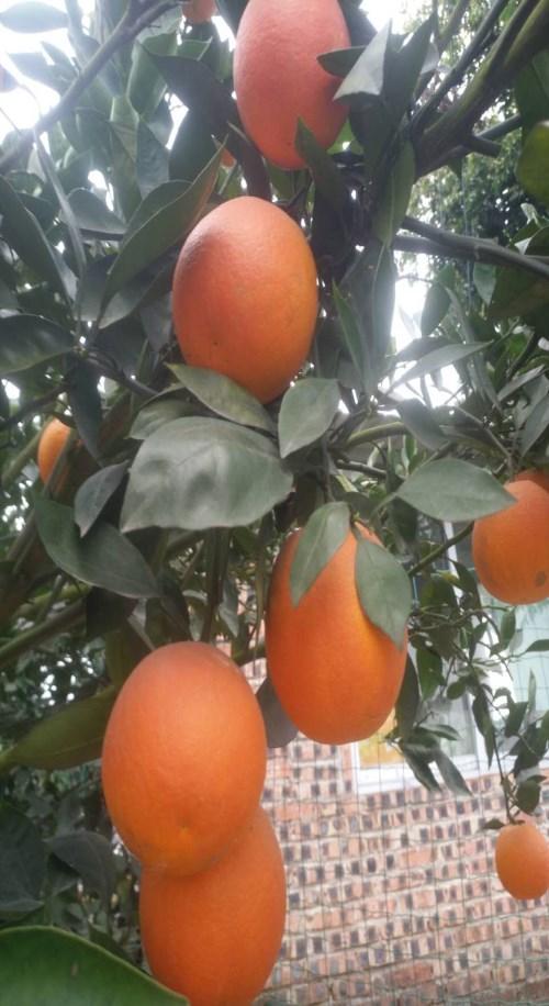 晚熟8号血橙批发 爱媛38号红美人和金诺柑橘苗的区别 四川春沃果业有限公司