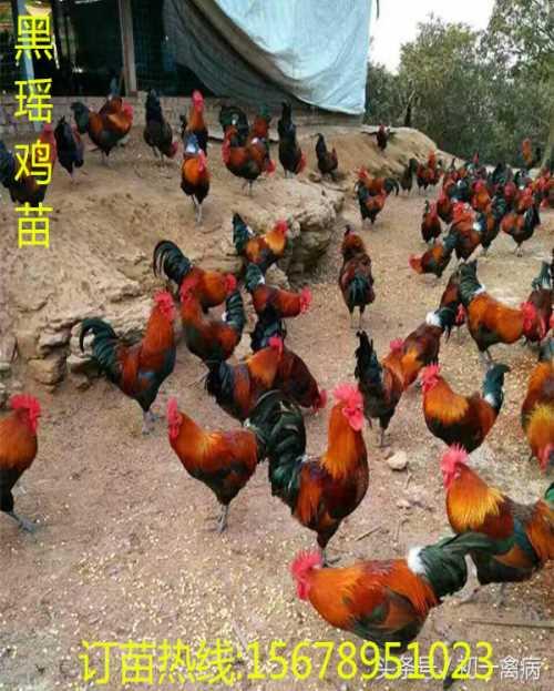 彩凤鸡苗批发价格/广西大白鸭苗批发价格/广西南宁汇升禽业禽苗孵化有限公司