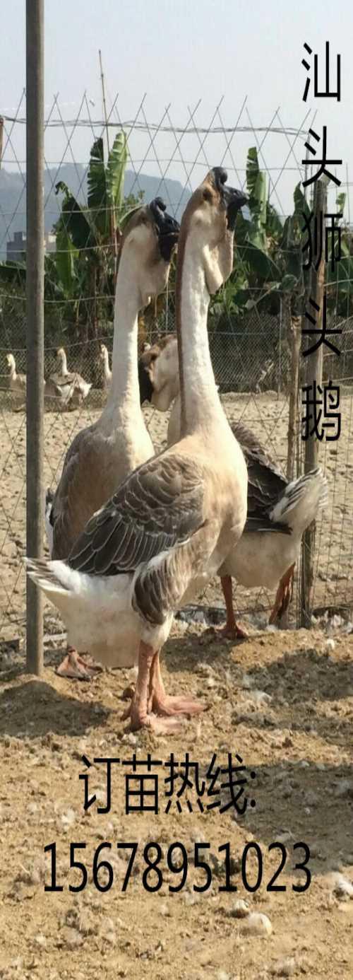 狮头鹅苗批发价格_番鸭苗养殖_广西南宁汇升禽业禽苗孵化有限公司