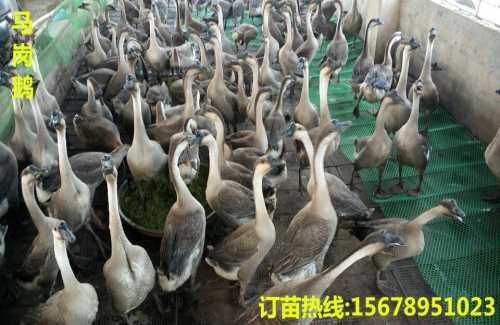 贵州狮头鹅苗_土鸡苗市场价格_广西南宁汇升禽业禽苗孵化有限公司