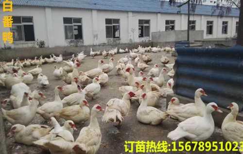 广西麻鸭苗养殖_快大鸡苗批发_广西南宁汇升禽业禽苗孵化有限公司