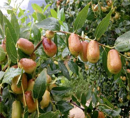 优质猪腰枣 重庆枣子销售 重庆市武隆区枣典水果种植股份合作社