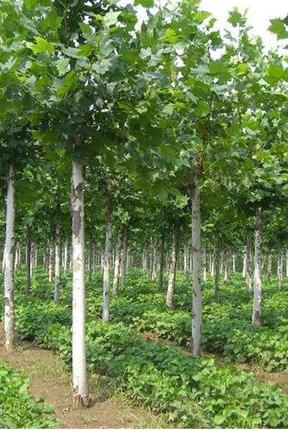落叶乔木园林绿化/华中园林在线绿化工程/成都上善荣发园林工程有限公司