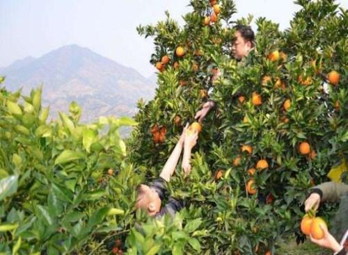 水果采摘_三峡白帝城门票网上预订_奉节县耕植农业发展有限公司