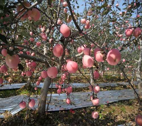 渭南苹果秋池王苹果怎么样-白水县天顺农产品怎么样-渭南天顺农产品商贸有限公司