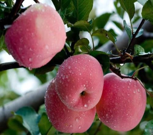 有机白水苹果供应 优质红枣 渭南天顺农产品商贸有限公司