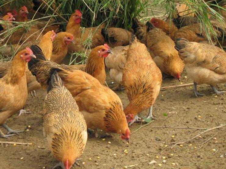 有机土鸡价格 离我最近的有机蔬菜联系电话 重庆澜瑾机电有限公司