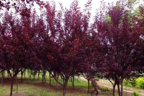 五公分红叶李种植 兰花草种植 郫县紫苑园艺场