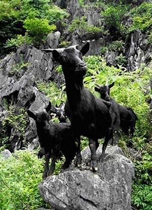 昆明市黑山羊供应商 羊肉串的做法 昆明市五华区黑为鲜羊肉馆