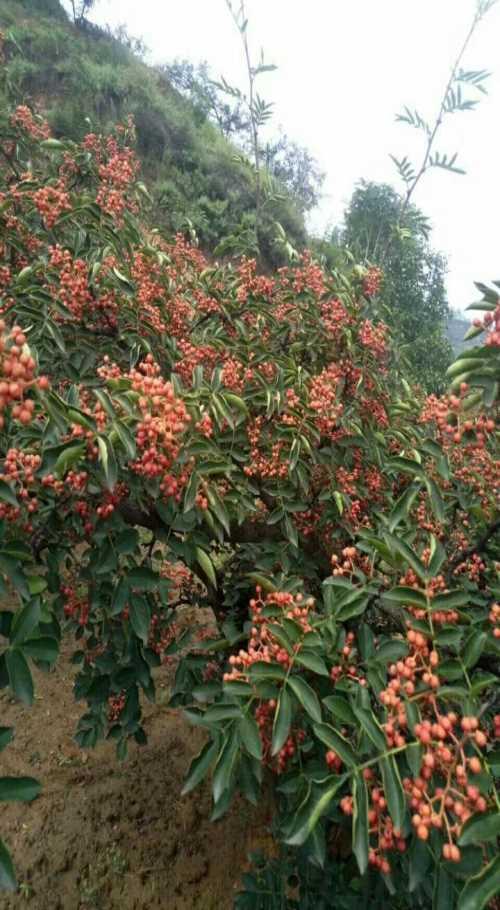 哪有卖大红袍花椒树苗-哪有花椒树苗基地-哪有无刺花椒树苗基地
