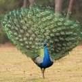 优质蓝孔雀蛋价格_商品禽蛋价格