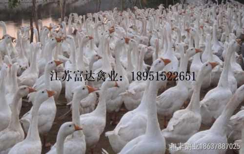 孔雀繁殖-贝蒂娜火鸡出售-江苏富达生态农业有限公司