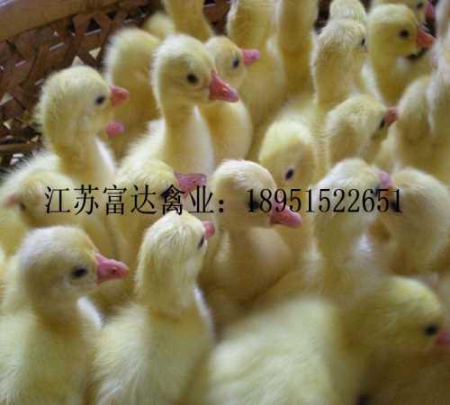 哪有鹅苗出售_优质鸭苗_江苏富达生态农业无限公司