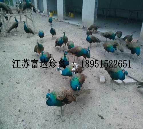 绿孔雀和蓝孔雀的区别 绿壳蛋鸡图片 江苏富达生态农业有限公司