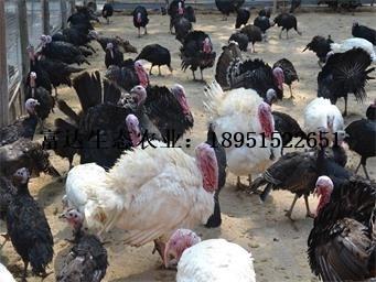 2017火鸡收购价格 珍珠鸡饲养方法 江苏富达生态农业有限公司