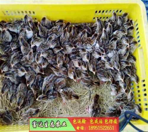 高品质求购珍珠鸡苗专业定制 火鸡 正宗白孔雀苗价格重磅优惠来袭